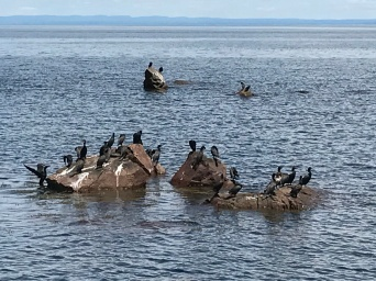 Various waterfowl off the Bay of Chaleur