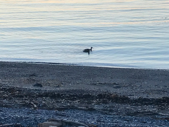 Waterfowl glides along the Bay of Chaleur no matter how calm or rough the water are.