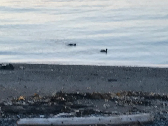 Ducks dip and dive for hidden fodder of the Bay of Chaleur
