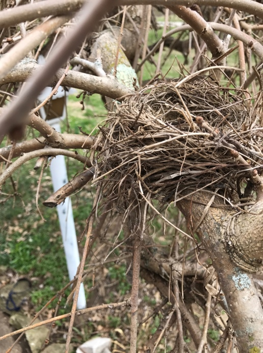 The mockingbird nest in our weeping mulberry tree--still visible due to the tree's seasonal rest.