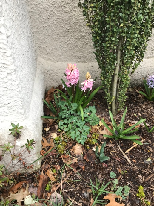 A hyacinth just outside one of the church doors.